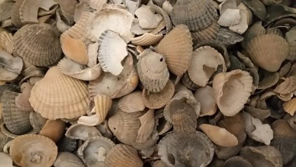 Muscheln zum dekorieren von Martim Dekoration in Schalen, Glasvasen, Windlichtern oder Tabletts.
